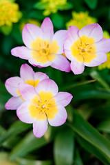 Farbwechsel (surfingstarfish) Tags: flower nature closeup season spring blossom jahreszeit natur bloom colourful blume blte bunt nahaufnahme springtime frhling blhen vonoben kelch