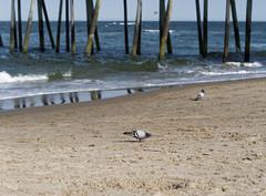 City Birds on the Beach (Rev.Gregory) Tags: ocean sea bird beach water virginia dock sand pigeon deck va boardwalk posts