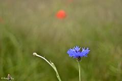 _DSC9936_v1 (rypl26) Tags: france nature prairie fra bleuets vgtation coquelicots drme et vgtaux biodiversit