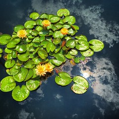 Water Lilies (ScottRKline) Tags: waterlilies waterlillies
