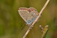 Polyommatus (Polyommatus) icarus (Rottemburg, 1775). Hembra (Jess Tizn Taracido) Tags: lepidoptera polyommatusicarus lycaenidae papilionoidea polyommatinae polyommatini