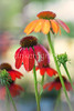brunch... (tinkiak) Tags: flowers bokeh coneflower bokehlicious bokehwhores