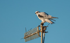 Black- shouldered Kite  DSC_5731 (BlueberryAsh) Tags: bird nikon raptor werribee australianbird blackshoulderedkite westerntreatmentplant tamron150600
