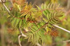 Newborn Leaves (gripspix (OFF)) Tags: 20160404 archiv sumac essigbaum rhus leaves bltter frisach newborn