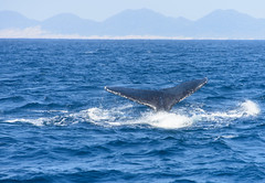 St. Lucia, South Africa - Whales watching (GlobeTrotter 2000) Tags: africa beach humpback kwazulunatal lucia sea south stlucia whale boat cruise hippo migration southafrica tourism visit watching