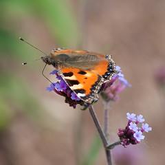 S ist der Nektar (ustrassmann) Tags: butterfly garden sommer summertime makro insekt garten schmetterling nektar staude ss makrofotografie