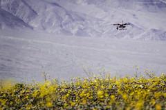 Drone over Badwater (Jodi Newell) Tags: flower nature field yellow canon fly purple nevada deathvalley february hover flyby drone 2016 jodinewell jodisjourneys desertgoldflower jodisjourneysphotosgmailcom