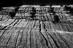 Alberi e grano (luporosso) Tags: natura nature naturaleza naturalmente nikond300s nikon alberi albero trees tree bianconero biancoenero blackwhite blancoynegro monocrome monochrome monocromatico astratto abstract geometrie geometry geometrienaturali naturalgeometry campagna campi country countryside grano wheat