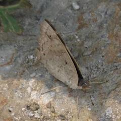 Junonia orithya, Blue Pansy (Birdernaturalist) Tags: nepal butterfly nymphalidae nymphalinae richhoyer