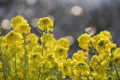 Azumayama Park  (Propangas) Tags: park travel plant flower yellow japan hill jp