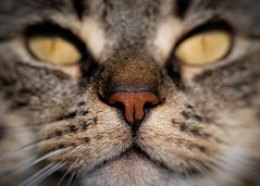 'Fudge's Snout' (Jonathan Casey) Tags: macro zeiss cat nose nikon tabby tube f2 extension snout 135mm d810