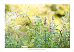 Naturally (shaun.argent) Tags: morning flowers summer nature leaves countryside flora seasons grasses wildflower shaunargent