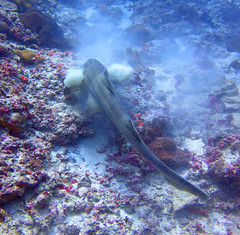 Brown-banded Bamboo Shark (7) (Petter Thorden) Tags: indonesia diving