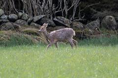 Time to hide S24A9336 (grebberg) Tags: norway mammal may deer roedeer rogaland 2016 klepp capreolus capreoluscapreolus orrevannet malaneset