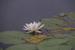 Waterlily (Infomastern) Tags: flower berlin germany garden deutschland pond waterlily blomma damm tyskland gardensoftheworld trdgrd nckros grtenderwelt dererholungsparkmarzahn