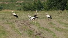 Landleben in Rumnien (chikorita83) Tags: rumnien landleben dorf strche storch