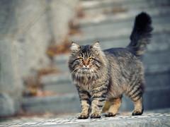 Street cat 152 (Yalitas) Tags: pet cats cat canon kat feline chat kitty gato felino katze katzen kot kedi kass gatta streetcat kotka  kocka  katte  katzchen kottur
