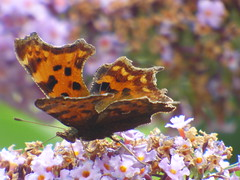 xx P2530117c VERY 'Weather'-Beaten COMMA . . ! !! ! (Erniebobble::) Tags: erniebobble 2016 nature wildlife newforest garden wildlifegarden balance biodiversity butterfly endangered declining environment climate green biomarker ephemeral transient transition transitory fleeting edge mottled orange background purple buddleia blur study science portrait pollen nectar flower bloom metamorphosis feeding summer season insect wings restful peaceful harmonious gentle tranquil bct bbc summerwatch2016 unsprung chrispackham surface colours pattern art painting shape lepidoptera delicate ragged textural detail dark focus soft fading antennae