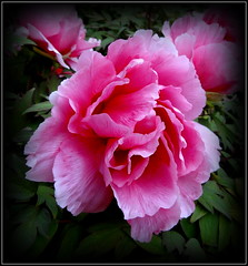 Casual Dressing (dimaruss34) Tags: newyork brooklyn image flower dmitriyfomenko peony