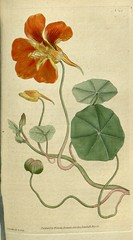 Tropaeolum majus. Botanical Magazine, t. 1-36, vol. 1: t. 23 (1787) [J. Sowerby] (Swallowtail Garden Seeds) Tags: illustration drawing botanicalillustration vintage vintageillustration flowers flowerillustration flower 19thcentury 19thcenturyillustration 1787 18thcentury swallowtailgardenseeds publicdomain botanicalmagazine volume1 edwards sowerby curtis plant plants blooms blossoms