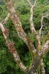 60071613 (wolfgangkaehler) Tags: 2016 southamerica southamerican ecuador ecuadorian latinamerica latinamerican rionapo rionapoecuador rionaporiver rainforest coca cocaecuador laselvalodge observationtower tower rainforestcanopy epiphyticplants epiphyte epiphytes trees