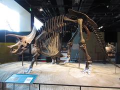 IMG_1722 (clare_and_ben) Tags: 2016 minnesota stpaul saintpaul sciencemuseumofminnesota fossil triceratops dinosaur