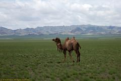 Lone Camel in the Gobi (billkuhn) Tags: mongolia camel gobidesert gobi bactriancamel