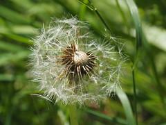 dandelion (1elf12) Tags: lwenzahn pusteblume dandelion braunschweig germany deutschland flower