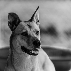 Gypsy04Sep1600036-Edit.jpg (fredstrobel) Tags: dogs pawsatanta phototype atlanta blackandwhite usa animals ga pets places pawsdogs decatur georgia unitedstates us