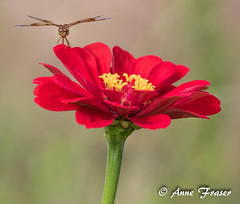 Dragonfly smiles (Anne Marie Fraser) Tags: outdoor flower zinnia blossom plant dragonfly smiles red nature garden smile