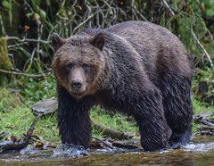 young and handsome !!! (wesleybarr1962) Tags: grizzly grizzlybear
