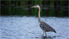 Great Blue Heron - Explored Oct. 6, 2016 (Chris Lue Shing) Tags: nikond7100 tamronsp150600mmf563divcusd bird fall autumn nature ontario canada chrislueshing richmondhill richmondgreen greatblueheron pond sunset
