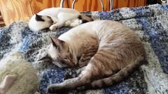 APOLO Y AMIR (Dyanaydyth) Tags: cats chat gatos gatto gatitos siameses ojos azules bebe