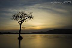 That Tree! (Ross Forsyth - tigerfastimagery) Tags: longexposure sunset tree water silhouette landscape bay scotland oak loch lomond oaktree lochlomond millarochy millarochybay