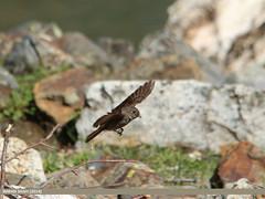 Dark-sided Flycatcher (Muscicapa sibirica) (gilgit2) Tags: pakistan birds animal fauna canon geotagged wings wildlife feathers sigma location species category avifauna gilgit naltar muscicapasibirica gilgitbaltistan sigma150500mmf563apodgoshsm imranshah darksidedflycatchermuscicapasibirica gilgit2