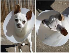 Skitters With Cone (Immature Animals) Tags: arizona rescue chihuahua animal tucson az marshall pima foster derek care skitters pacc immatureanimals backpacc