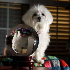 11183 - Kira e Sfera (Diego Rosato) Tags: lana kira animali cani cristallo riflesso sfera cuscino