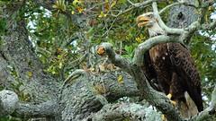 Bald Eagle (Jim Mullhaupt) Tags: wallpaper usa brown white tree oak nikon eagle florida baldeagle large coolpix bradenton preditor manateecounty p510 mullhaupt theworldoutdoors jimmullhaupt