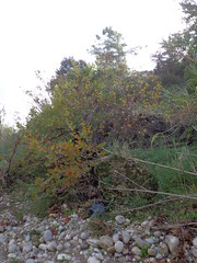 (Psinthos.Net) Tags: morning november autumn mountain nature rock river reeds countryside cloudy stones shore valley greens mountainside shrubs torrent stubbles planetree cloudiness    psinthos                    palioprotou  palioprotouarea  palioprotoupsinthos   palioprotouvalley