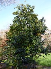 Diospyros kaki L.f. 1782 (EBENACEAE) (helicongus) Tags: spain diospyros diospyroskaki ebenaceae jardnbotnicodeiturraran