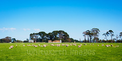 Sheep with spring lambs (whitworth images) Tags: blue trees sky panorama building green wool nature field grass animals rural landscape outdoors spring babies sheep many farm flock hamilton shed young sunny australia victoria panoramic domestic pasture plantation lambs hay lush agriculture dunkeld livestock mammals juvenile agricultural paddock strathkellar