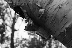 20141029_NBG_16 (Azouras Defeat) Tags: f1 schwarzweiss kiel canonf1 neuerbotanischergarten caffenolch fd1250mm