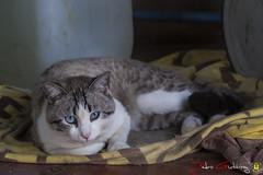 Gato (Pedro Gutirrez) Tags: cat gatos animalesdecompaia gatocomn animalesanimalesdomesticos