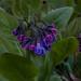 mertensia virginica, ouryard, jdy097 XX200904073966.jpg