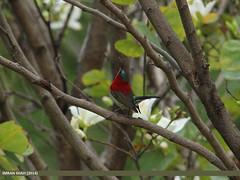 Crimson Sunbird (Aethopyga siparaja) (gilgit2) Tags: pakistan birds animal fauna canon geotagged wings wildlife feathers sigma location species category avifauna islamabad aethopygasiparaja sigma150500mmf563apodgoshsm imranshah crimsonsunbirdaethopygasiparaja g9home gilgit2