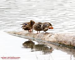 Mallards (mikerhicks) Tags: winter usa birds geotagged unitedstates nashville hiking tennessee wildlife mallard tennesseestateparks radnorlakestatepark radnorlakestatenaturalarea oakhillestates canon7dmkii geo:lat=3606335167 sigma18250mmf3563dcmacrooshsm geo:lon=8680395667