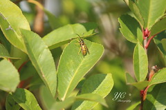 Wasp (yi15922) Tags: garda bee verona ilobsterit scorpyioncorporation yichenphotography