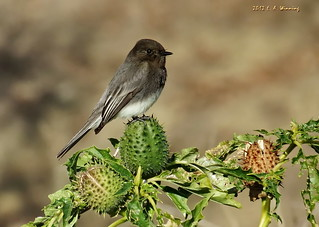 Black Phoebe - They're Back!   4633