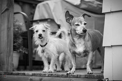 The wise and the young (BrettAnderson_) Tags: friends portrait bw dog white chihuahua black dogs nature minnesota canon puppy outside outdoors nose prime puppies teeth tail 14 cities minneapolis twin ears whiskers deck terrier wiener bark paws collar 50 weiner mn snout datsun k9 60d