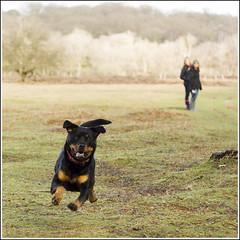 Airborne dog (Maw*Maw) Tags: dog pet forest photoshop canon eos walk rottweiler run overlay rottweiller rotweiller 50d cs6